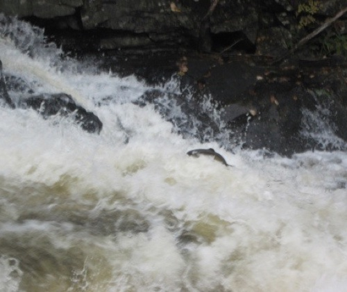 salmon jumping falls on the Connecticut River, Pittsburg, NH