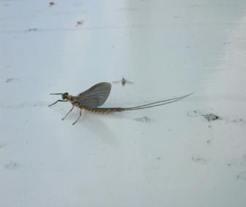 Back Lake hexagenia mayfly