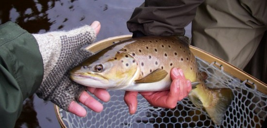 Trophy Stretch brownie caught by Joe Homer