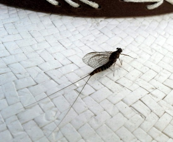 back-lake-mayfly