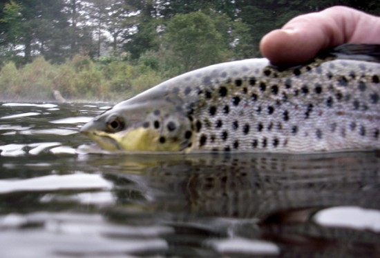 brown-trout-closeup