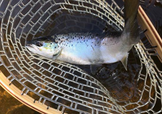 salmon-may-7