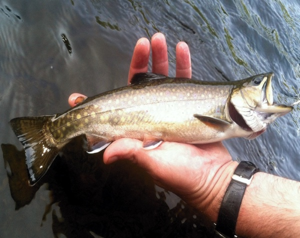Connecticut River brook trout brought to hand and released