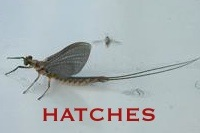 Mayfly & Caddis Hatches